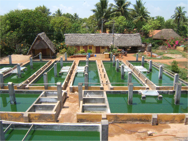 Spirulina production